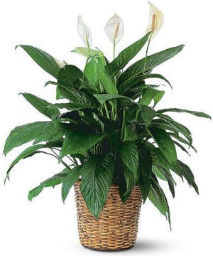 Floor-sized plant