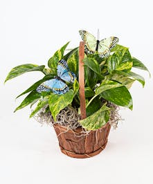 Butterfly Pothos Plant