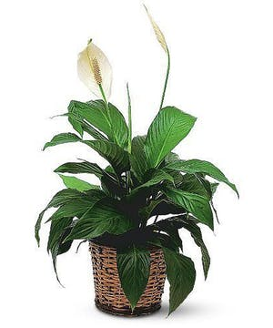 Easy Care Green Floor Plant