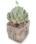 Desktop Succulent