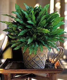 Also known as a Chinese Evergreen
