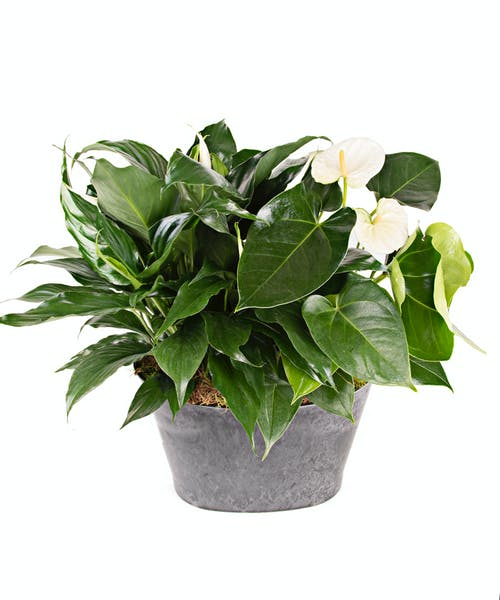 Peace Lily and Anthurium Garden