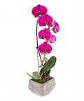 Waterfall Orchid Plant