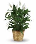 Simply Elegant Spathiphyllum Large