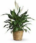 Simply Elegant Spathiphyllum Medium
