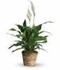 Simply Elegant Spathiphyllum Small