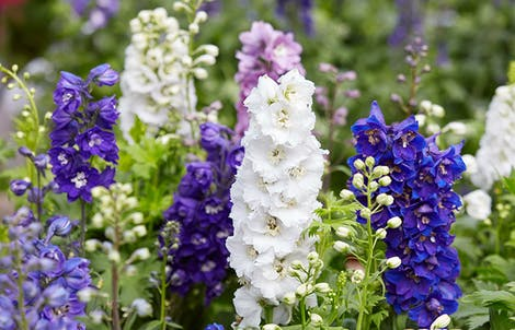 Photograph of larkspurs