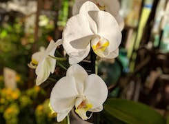 Elegant white orchids on display in our store